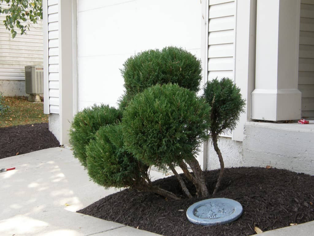 Topiary Trimming with Mulch Masters after example 2